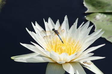 Water lily and a dragonfly by Roster777
