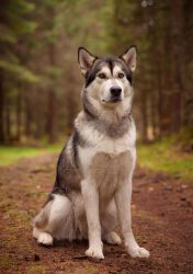Life of dogs- Alaskan malamutes II by Nevermaketherules