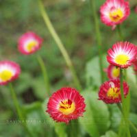 lovely flowers_95 by Marsulu