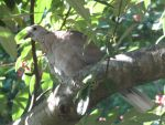 Collared dove by Sia-the-Mawile