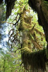 Hoh more Moss trees 7 by seancfinnigan