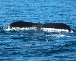 Humpback Whale Tail by foxvox
