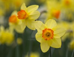 Daffodils - Flowers by photographybypixie