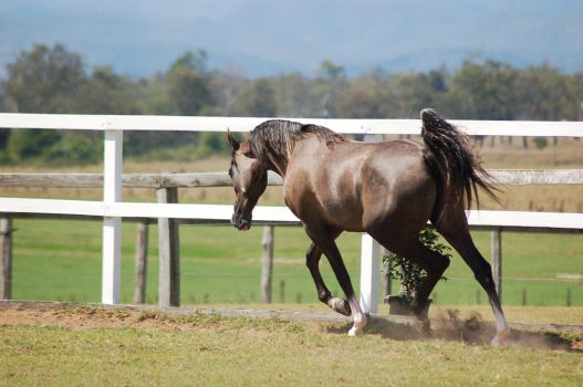 GE Arab rosegrey trot away head lowered by Chunga-Stock