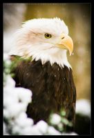 Bald Eagle: Snow by Flame-of-the-Phoenix