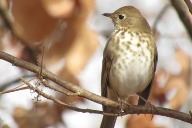 Hermit Thrush by PhotographerAlexC
