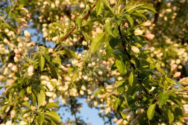 Afternoon Tree Blossoms by Tregor