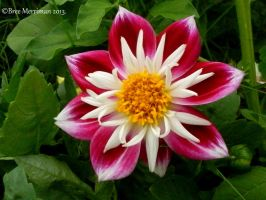 Dahlia Flower I by BreeSpawn