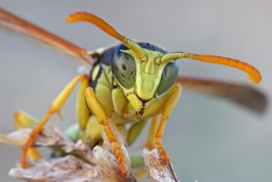 Wasp photo session II by buleria