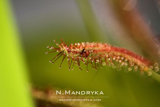 Sundew by darks