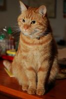 Kitchen Counter Cat by MauserGirl