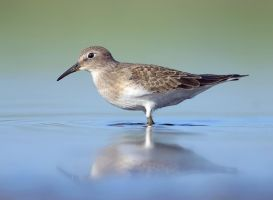 Temmincks Stint (Calidris temminckii) by Sergey-Ryzhkov