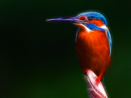 Common Kingfisher by justinlavelle
