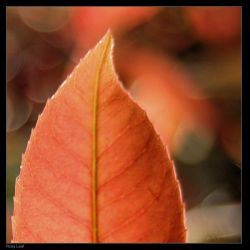 Rosy Leaf by philemerson