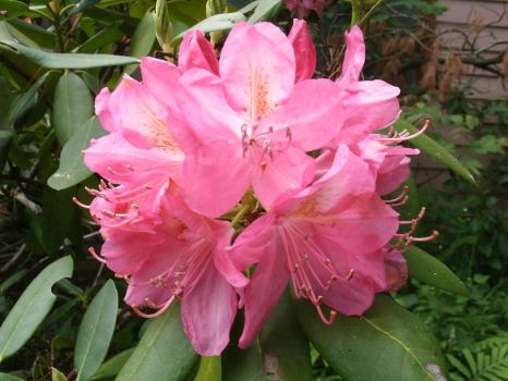 Pink Rhododendron by SacredJourneyDesigns
