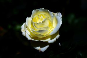 A Yellow Rose 3 by HoppTography