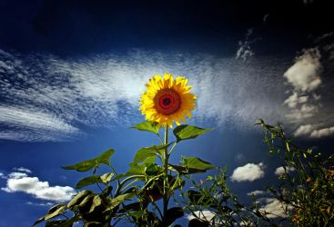 Simple Solitary Sunflower 2 by Coigach