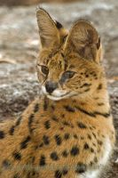 Serval by shadowleoparddreams
