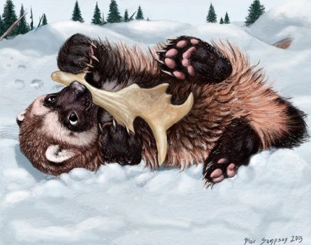 Wolverine cub noming a caribou antler by Psithyrus