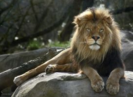 Relaxing Lion by ScooterTheDog