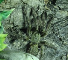 Stromatopelma calceatum by jodroboxes