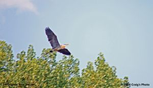 9439 Great Blue Heron by wtsecraig