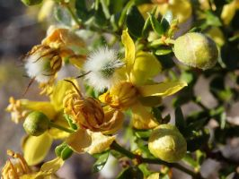 Creosote Flowers by ClymberPaddler