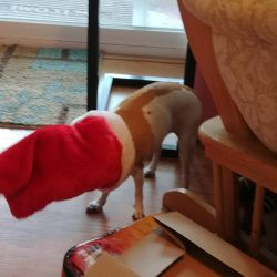 Family Chihuahua eating a treat in her stocking by lestnill