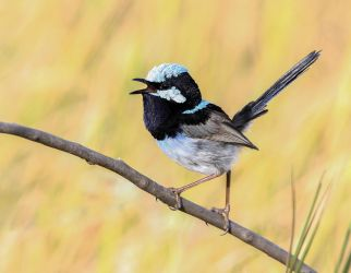 Male Superb Fairy Wren by Firey-Sunset