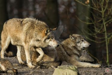 wolves 9