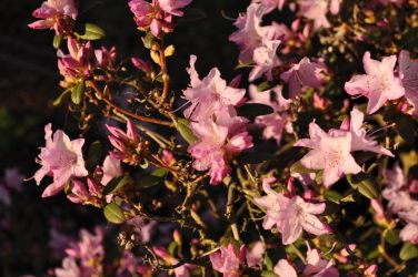 Azaleas at sunset by snoogaloo