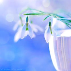 snowdrops..... by impatienss