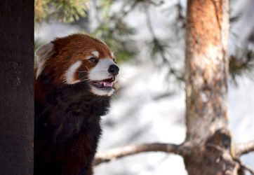 Red Panda 1 by lululoser