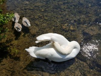 Swan with babies 2 by Aurora-Alley