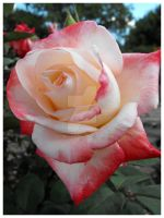 Pink and White Rose by rlcreatif