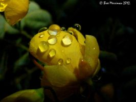 Dripping Rose by BreeSpawn