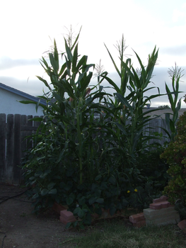 Garden Stock Corn tall by dtf-stock