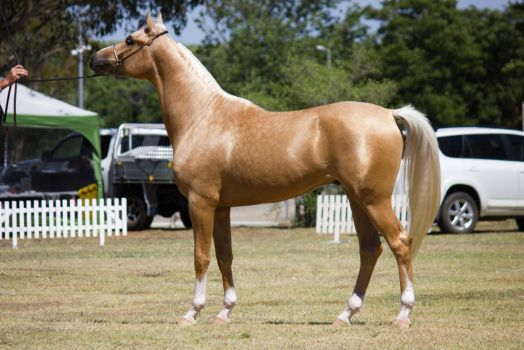 STOCK - 2014 TotR Arabians-120 by fillyrox