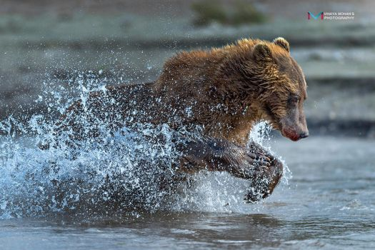bear in action by vinayan
