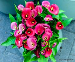 Calla lilies by joerimages