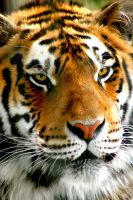 CLOSE UP TIGER FACE by TlCphotography730