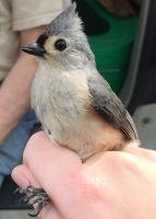 Tufted Titmouse by Qille