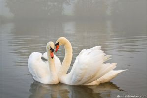 Swan Lake by Alannah-Hawker