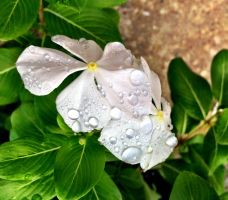 Drenched Periwinkles by AnonymousRabbitLover