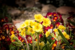 Yellow flowers by vertiser