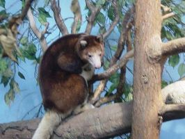 Tree Kangaroo 003 by Elluka-brendmer
