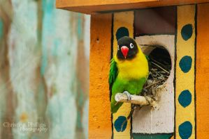 Yellow-collared Lovebird-2193 by Christina-Phillips
