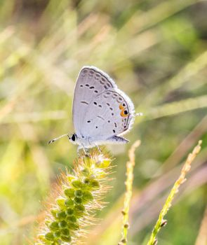 Eastern Tailed-Blue by cedarlili
