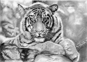 Bengal Tiger by selvatico3