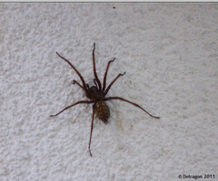 House Spider by Delragon
